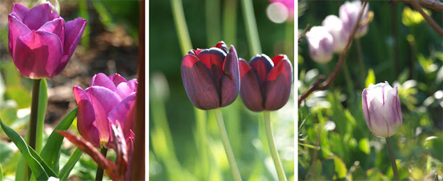 Lilla og rosa tulipaner