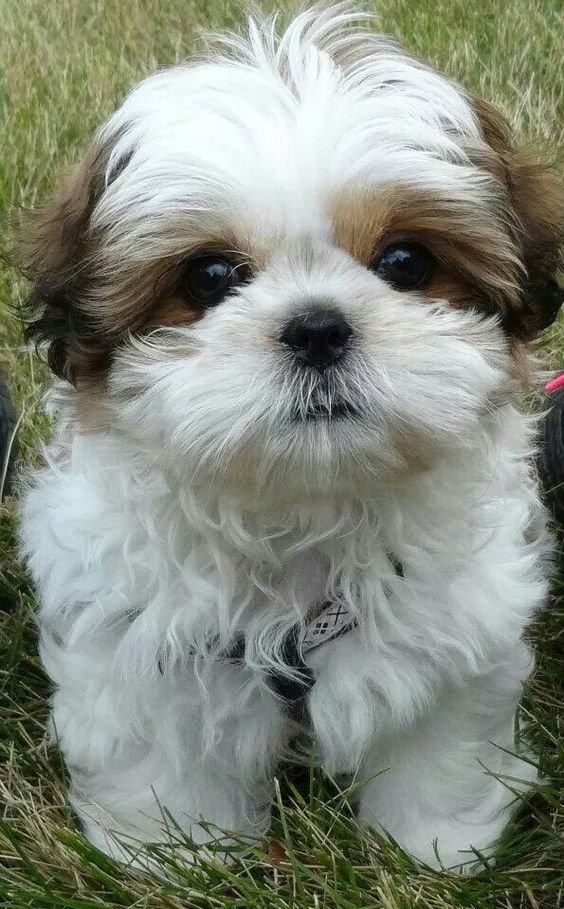 Is A Shih Tzu Dog The Right Breed For You The Pets Dialogue
