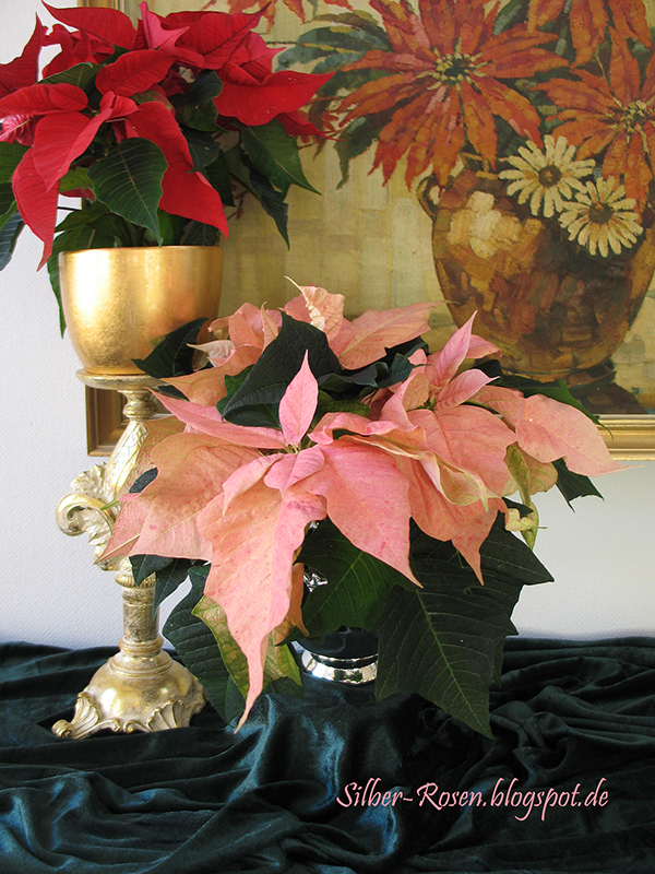 silber weihnachtssterne in allen farben tea time tuesday colorful poinsettias. Black Bedroom Furniture Sets. Home Design Ideas