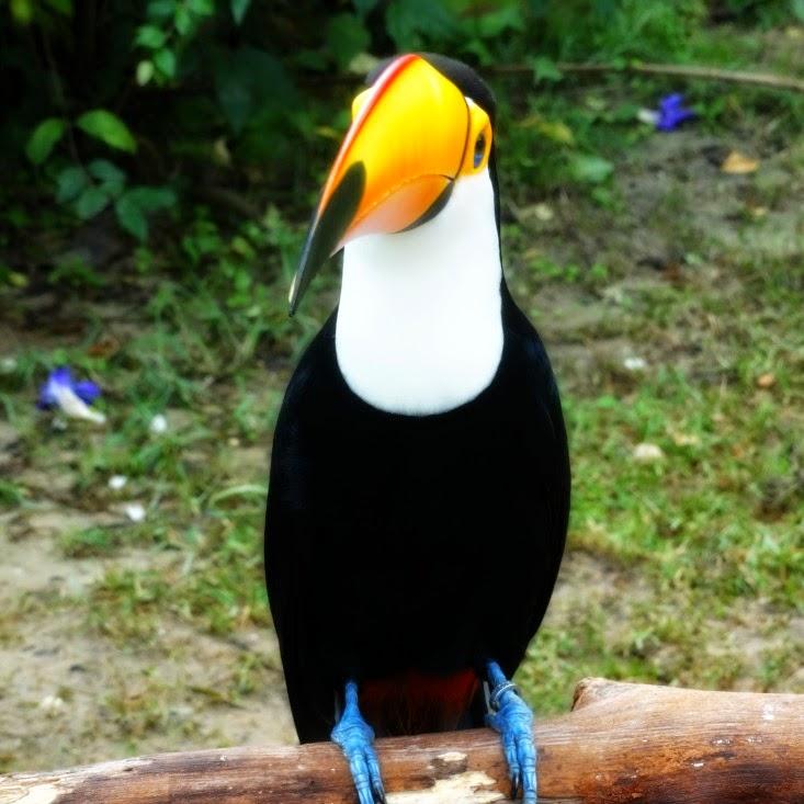 Tucano, destaque do Mundo Mágico das Aves, no Beto Carrero World
