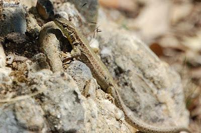 Sargantana roquera (Podarcis muralis)