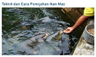 Teknik dan Cara Pemijahan Ikan Mas