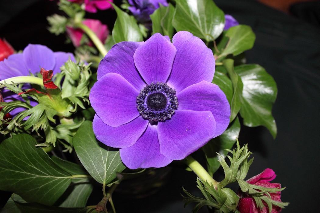 Fondo Primavera álbum Classic Flores Violetas: Clàssics A La Romana.: L'ORIGEN DE LES ROSES, SEGONS LA