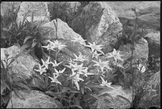 Edelweiss zwischen Steinen, Glasnegativ 1930-1942