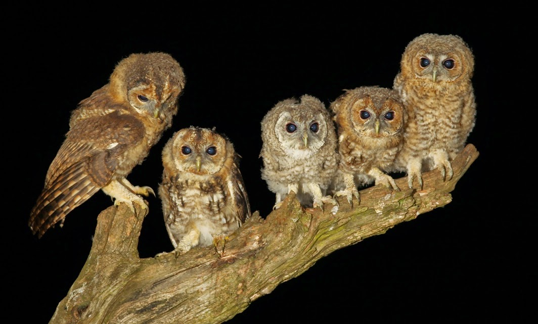 A Day In the Life of a Wildlife Artist: Wild Barn Owl Mum ...