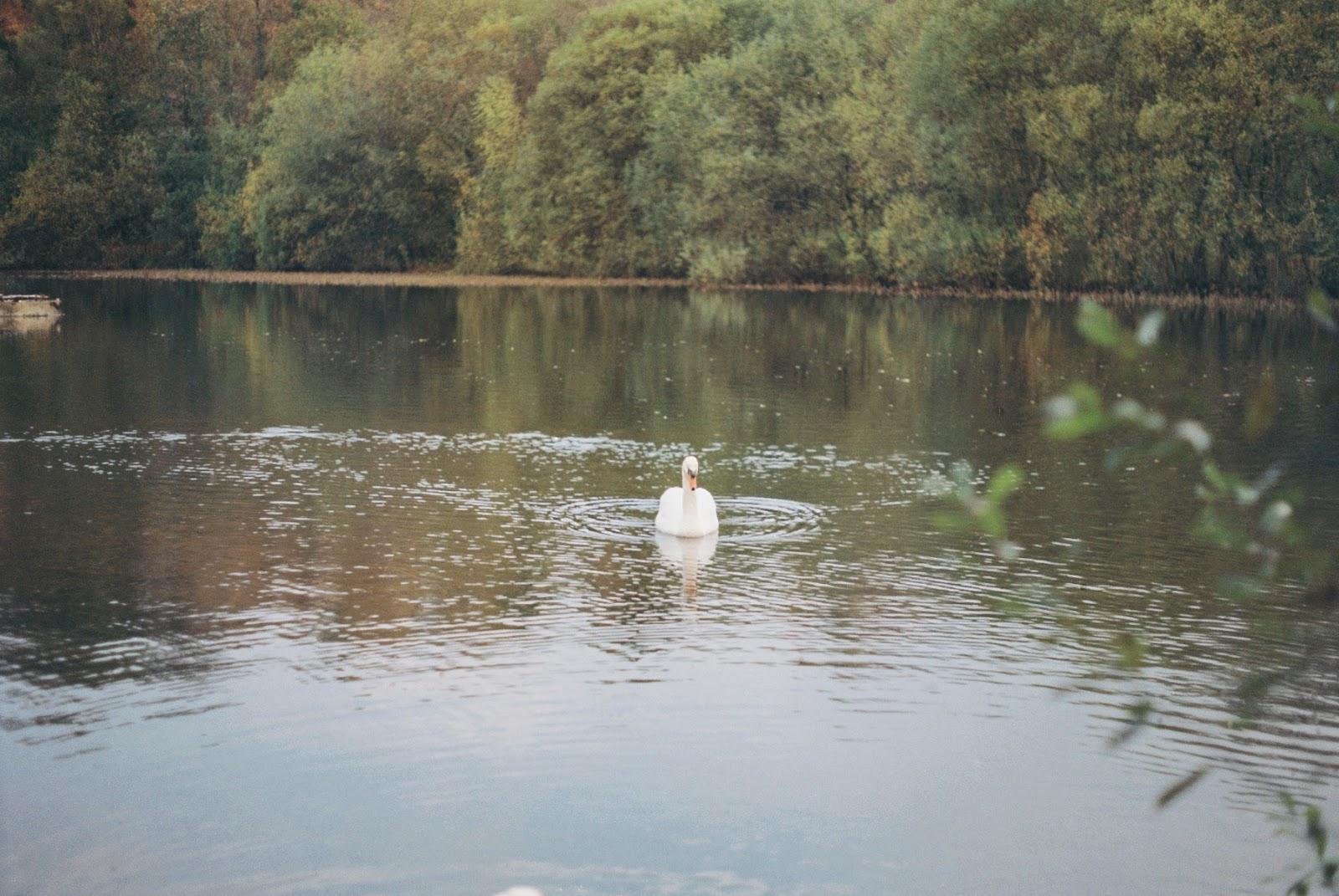 A swan in a pond in the Glen River Park, Ballyvolane, Cork.