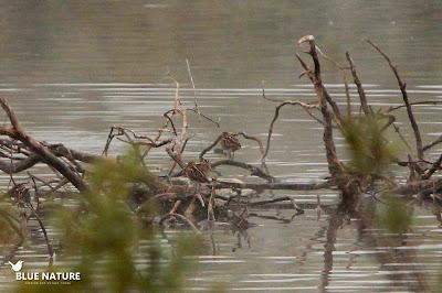 Bando de agachadiza común (Gallinago gallinago), en la imagen hay 4, ¿las ves todas?