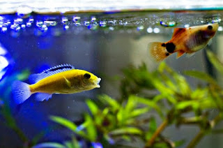 Ikan Hias Aquarium Mini Lemon