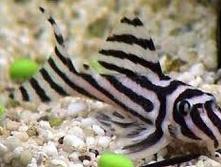 Jenis Ikan Hias Air Tawar Sapu sapu
