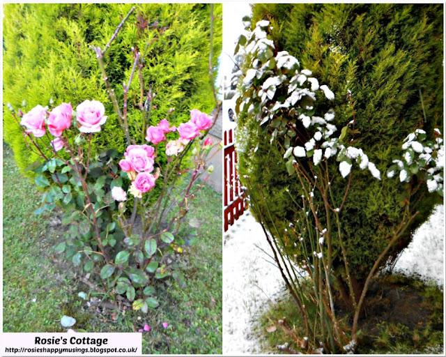 Summer & Winter Roses