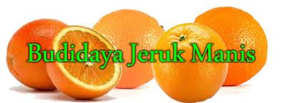 jeruk manis, budidaya jeruk, cara menanam jeruk