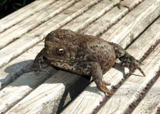 Your friendly neighbourhood Bufo bufo