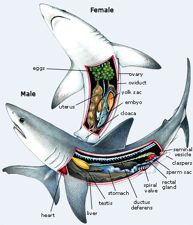 Gallery Dogfish Shark Dissection External