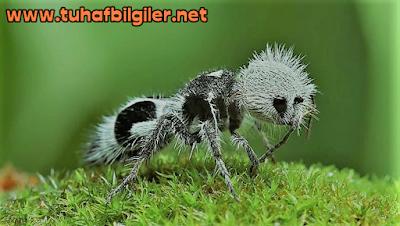 siyah beyaz karınca