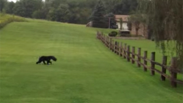 MUST WATCH: You'll Never Guess What This Couple Did When They Found This Black Bear While Walking!