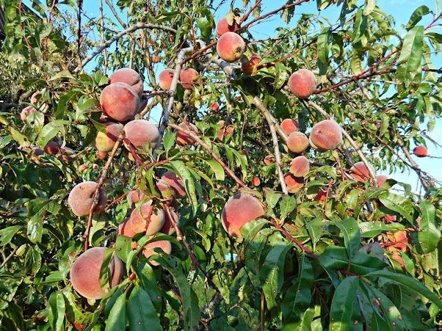 sad, ogród, owoce, drzewa owocowe