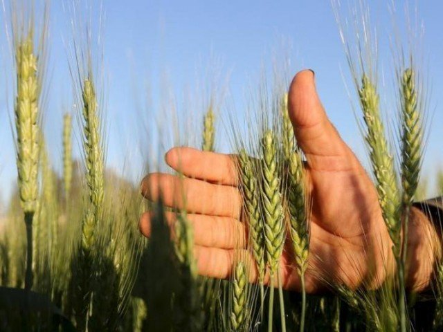 PTI govt approves wheat export at subsidised rate : $82.6 million to Pakistan Poverty Alleviation Fund (PPAF) and $50 million to the BISP