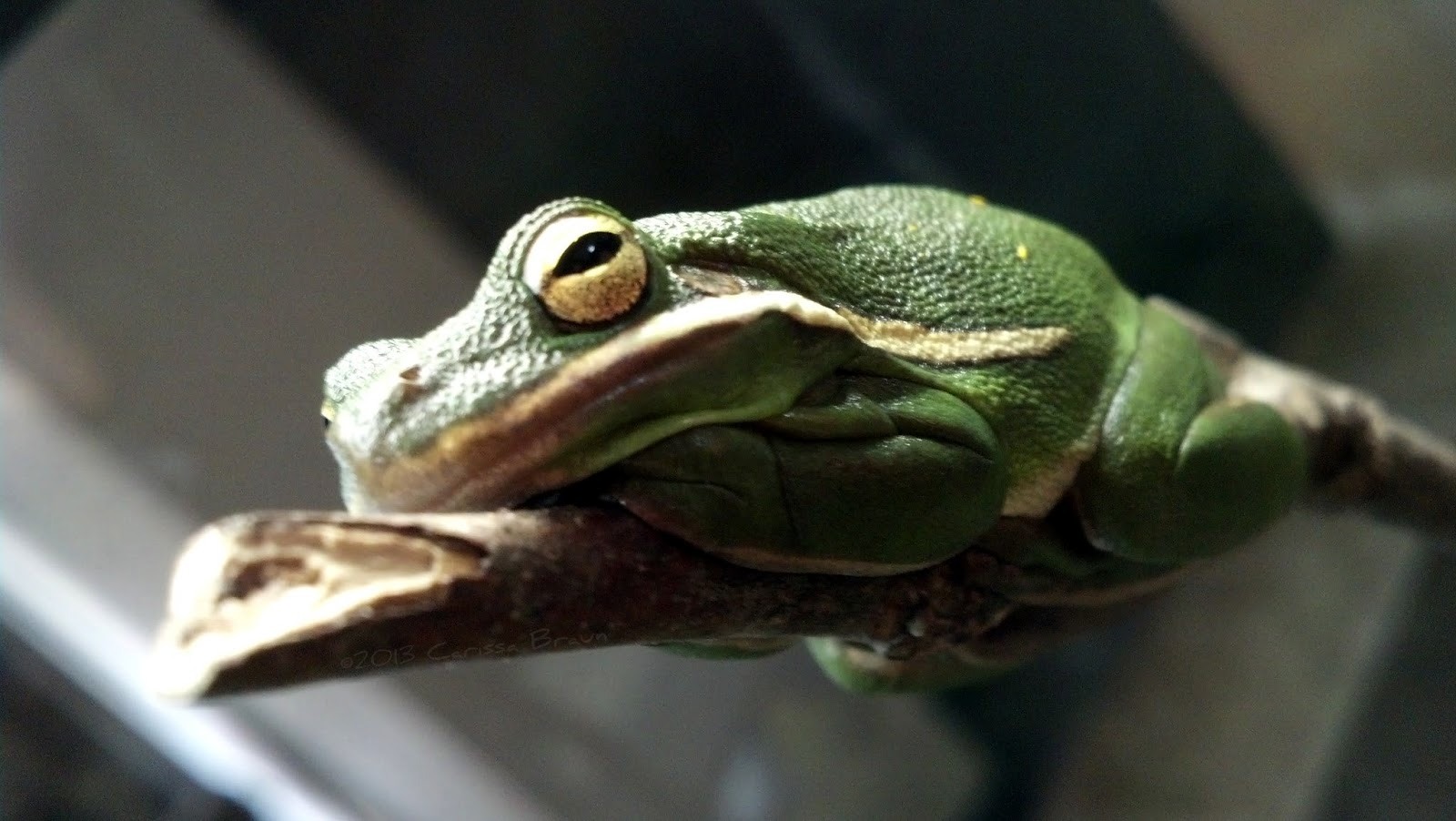 green tree frog - HD 1600×902