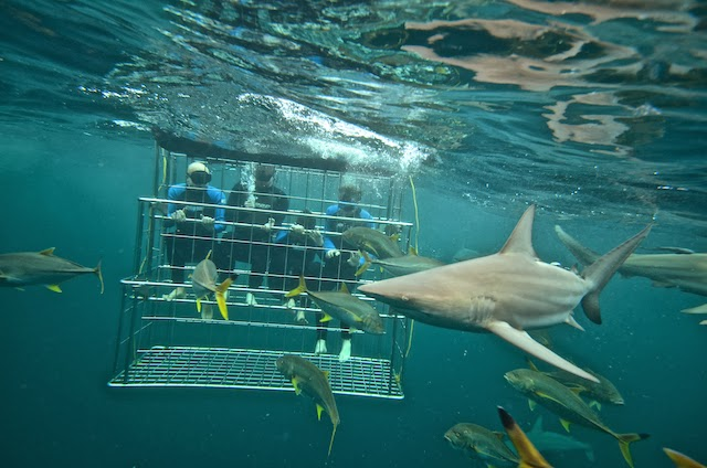 SHARK CAGE DIVING KZN IN DURBAN: Comeback Kid band from