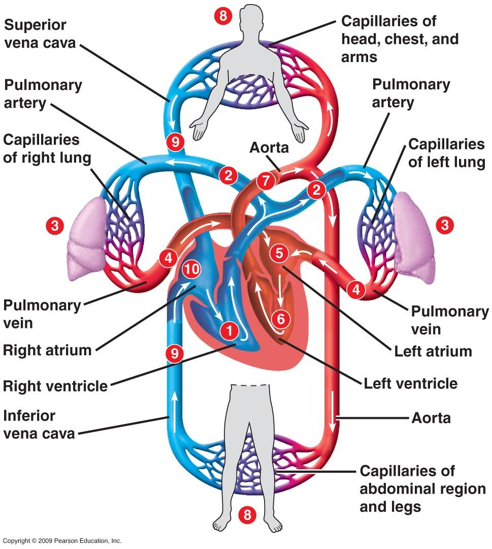 Sistem tubuh Manusia