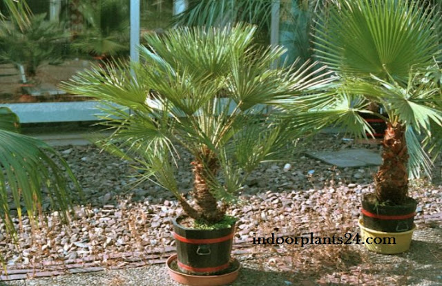 Palmae Desert fan Palm Indoor House Plant image