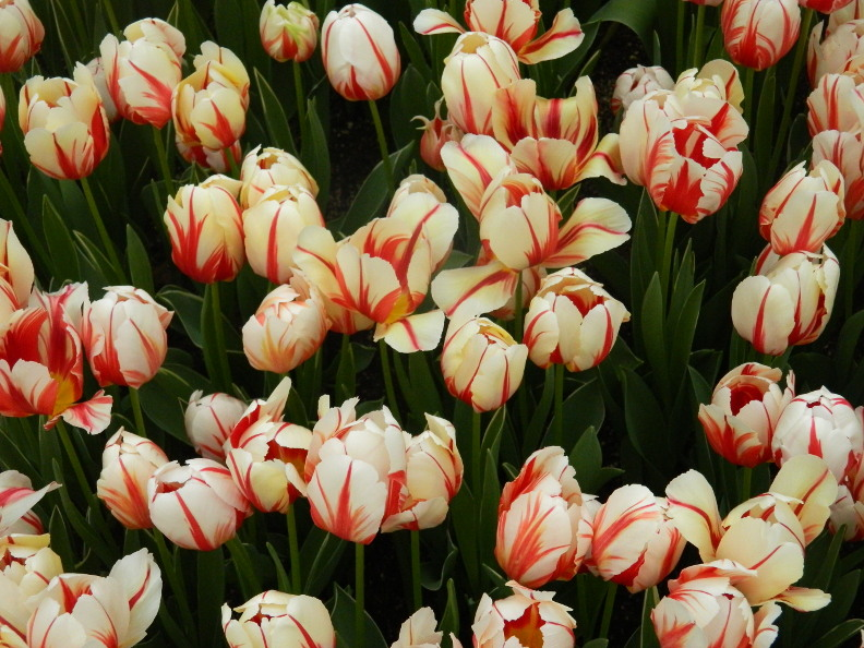 Garden muses not another toronto gardening blog etobicokes canada 150 tulips at the centennial park conservatory spring flower show 2017 mightylinksfo