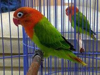 lovebird muda