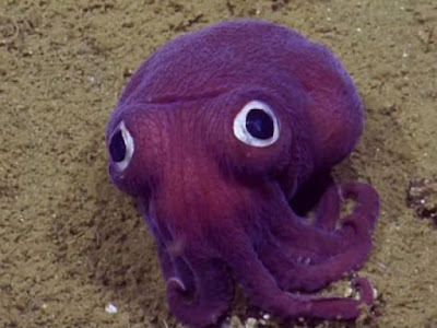 Sotong Paling Comel Di Dunia Berjaya Ditemui