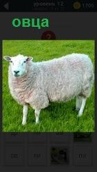 На поляне на траве стоит обычная овца