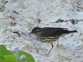 Parkesia noveboracensis - Paruline des ruisseaux