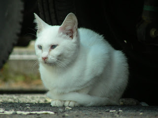 車の下にいる白猫