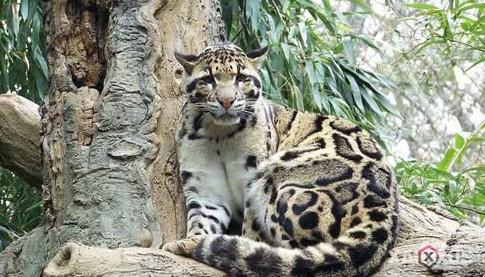 Hewan buas yang ada di Indonesia - Macan dahan kalimantan