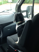Lilly the beagle being a  co-pilot