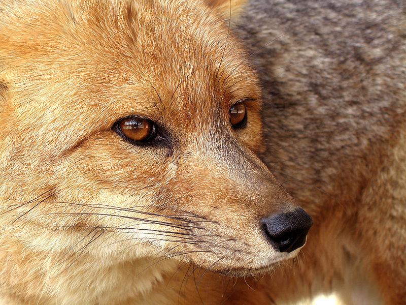 Mammals Animals: Pseudalopex culpaeus