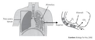 Paru-paru mengeluarkan CO2 sebagai hasil metabolisme sel-sel tubuh.