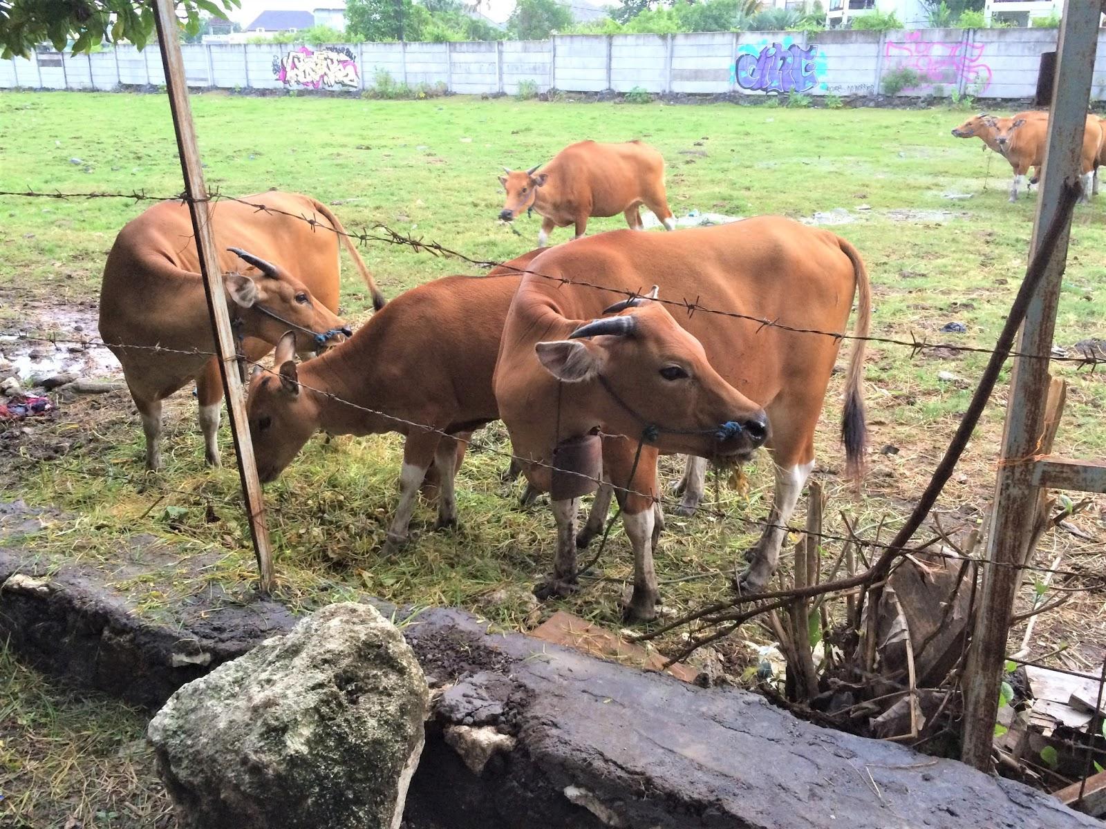 Canggun lehmät