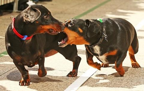 Bí quyết chiến thắng trong các kèo đua chó ở Việt Nam