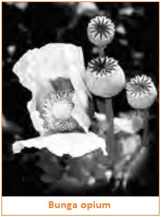 Apa itu Narkotika Golongan 1, 2, 3 - Bunga Opium