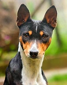 Everything about your Basenji
