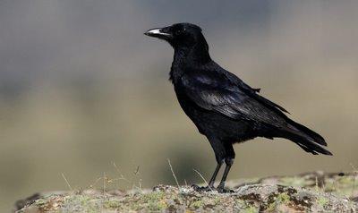 Resultado de imagen para La Corneja Negra ( Corvus Corone )