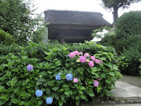極楽寺・坂ノ下のアジサイ