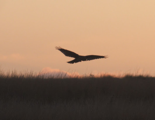 Irish Hen Harrier Winter Survey - November 2016