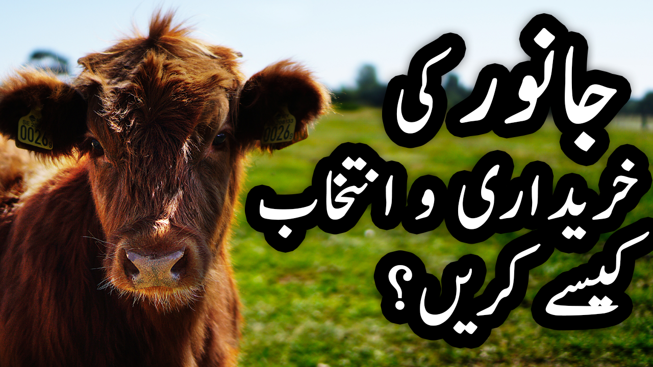 How to Select Cows & Buffalos for Dairy Farming in Urdu / Hindi