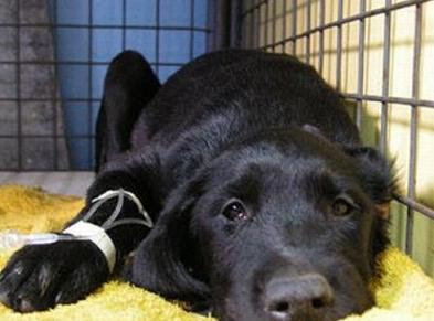 Anemia en mascotas