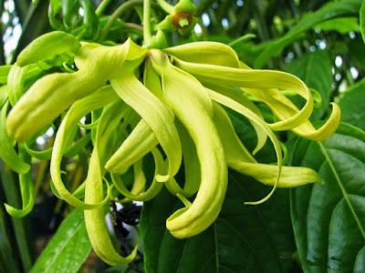 12 Manfaat Bunga Kenanga untuk Kesehatan