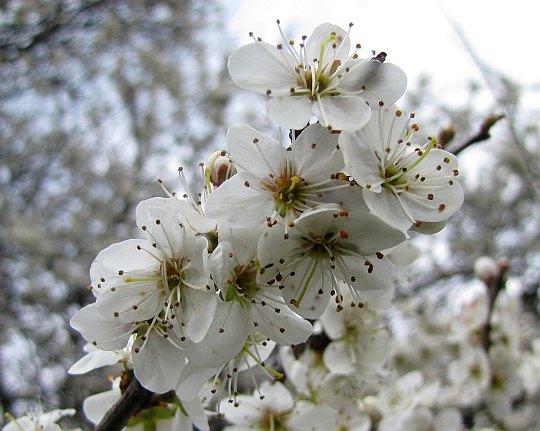 Kwiaty tarniny (Prunus spinosa L.).