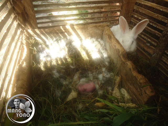 Hal - hal penting terhadap kelinci yang baru lahir