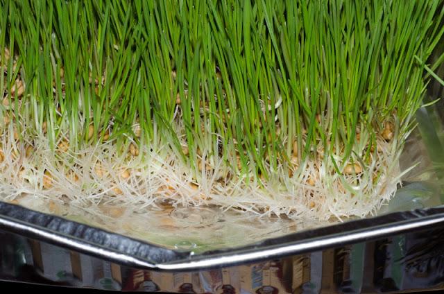 macro wheat seed