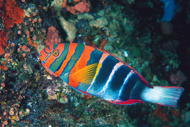 Rinow Fisch