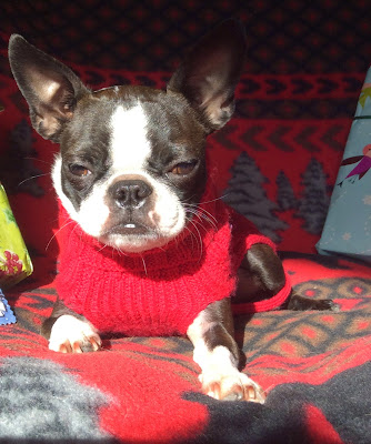 Sinead the Boston terrier in her red sweater